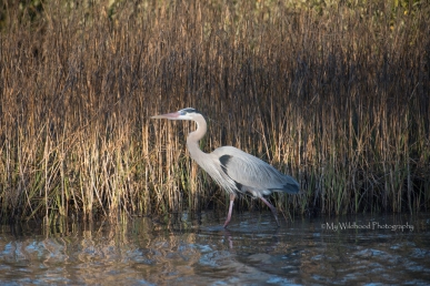 Cruising Heron-2-16-wm
