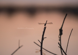 Copper Dragonfly, Brazos Bend State Park, Texas