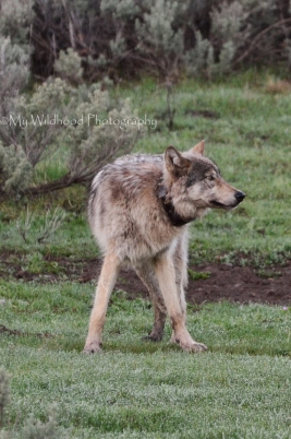 Early Morning Wolf, Yellowstone National Park, Wyoming