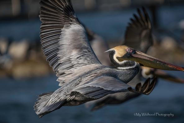 Pelican in Flight, Port Aransas, Texas