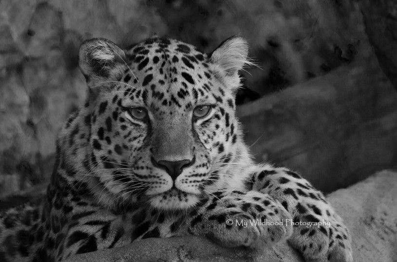 Amur Leopard, New Orleans, Louisiana