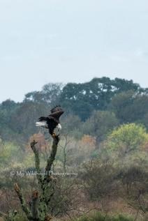 Landing Eagle, Quintana, Texas