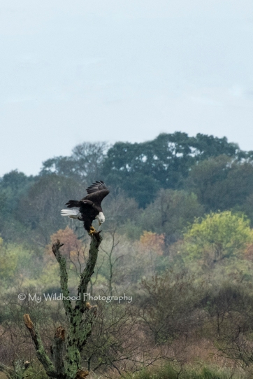 Landing Eagle, Brazoria County, Texas