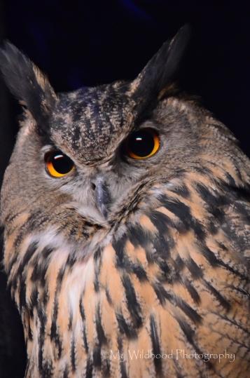 Eurasian Eagle Owl, Cincinnati, Ohio