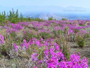 Fireweed, Yukon Territory