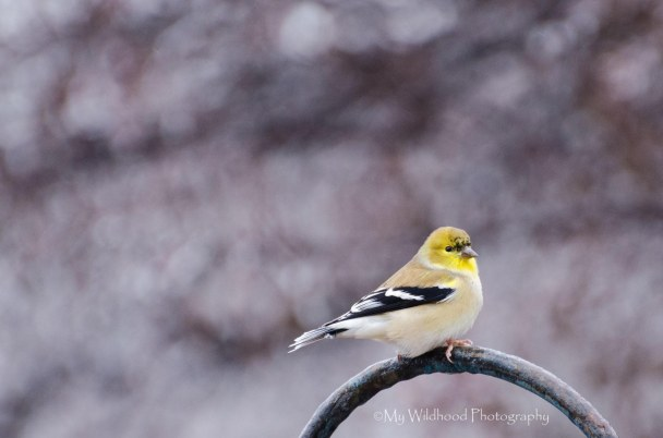 American Gold Finch, Palo Duro Canyon State Park, Canyon, Texas