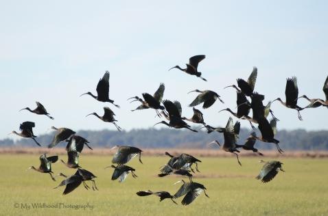 Glossy Ibis, Brazoria, Texas
