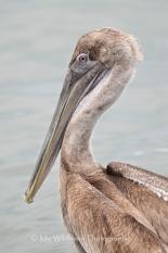 Young Brown Pelican, Galveston, Texas