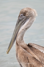 Young Brown Pelican, Galveston, Texas