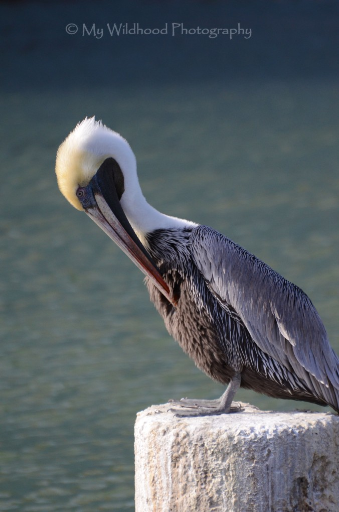 Preening, Galveston, Texas