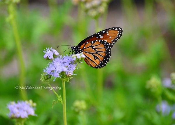 Queen Butterfly, Pedernales Falls State Park, Texas