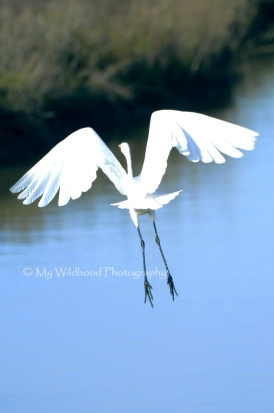 Snowy Egret, Aransas National Wildlife Refuge, Texas