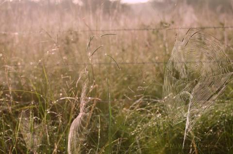 Early Morning Spider Webs, Rosenberg, Texas