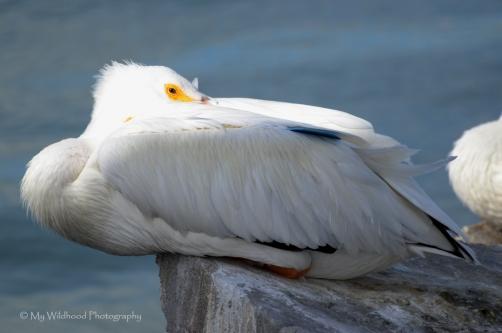 White Pelican, Galveston, Texas