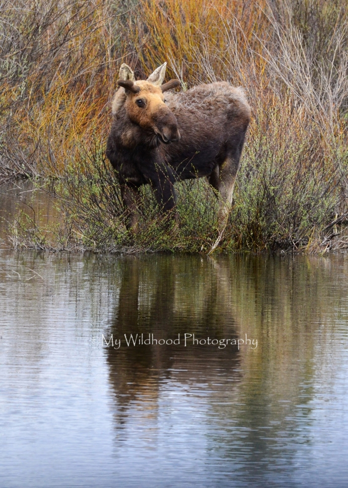 Young Bull Moose, Yellowstone National Park, Wyoming
