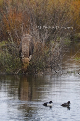 Young Moose and Ducks, Yellowstone National Park, Wyoming