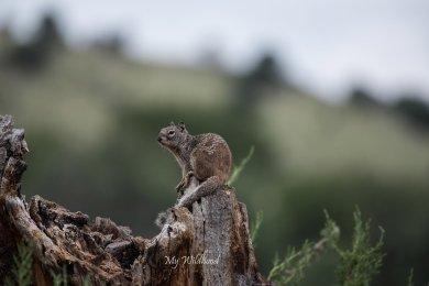 Baby Rocksquirrel