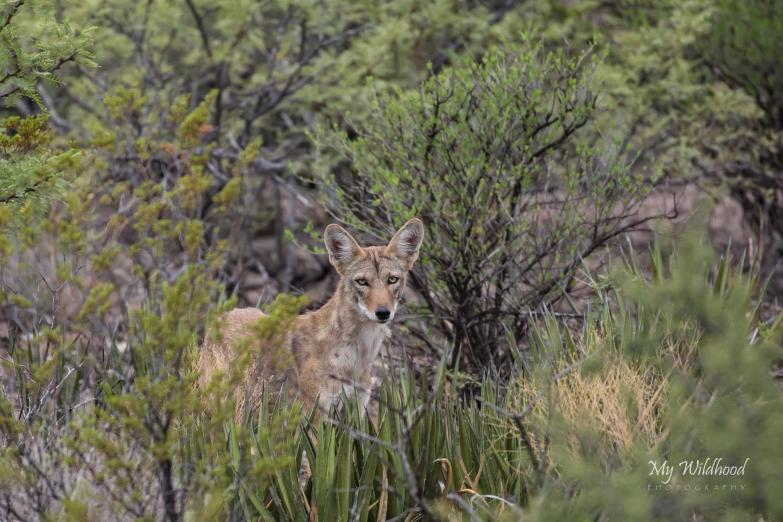 Scruffy Coyote